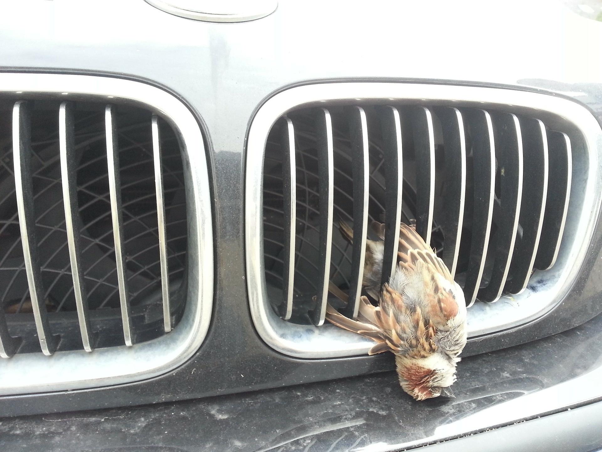 Bei Unfallen mit Federwild (Vögel, Fasane etc.) zahlt die Versicherung in der Regel nicht
